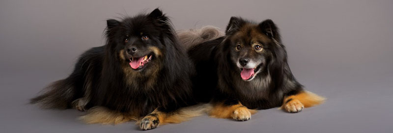 two dogs on grey background