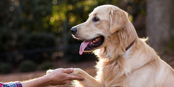Dog shaking hands with man