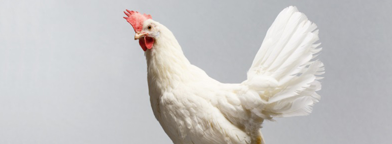 White chicken with grey background