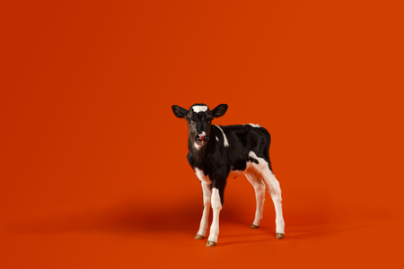 Dairy calf on orange background