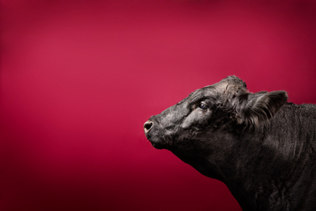Beef cow with red background