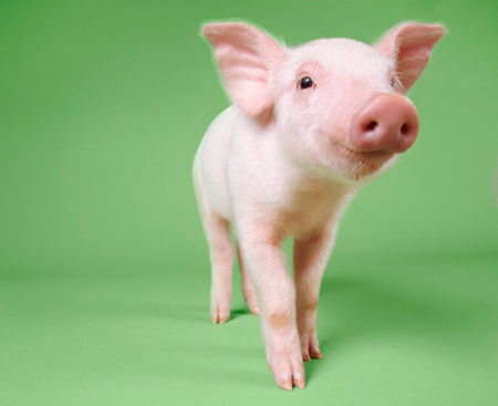 Piglet on green background